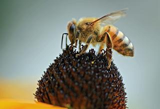 honeybee-1132965.jpg
