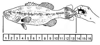 how to measure a fish diagram