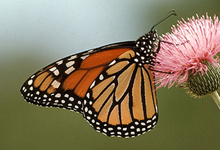 monarch_butterly_on_thistle_flower 325x218.jpg