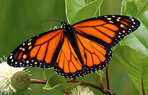 Monarch Butterfly Gardening