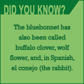 Did you know there are other names for Bluebonnets?