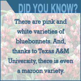 Did you know there are Maroon Bluebonnets?