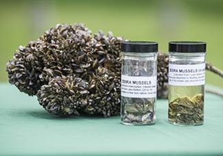 display of invasive zebra mussels