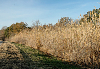 field edge of tall grassy reeds