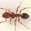 Fire Ant 1 110x110.jpg