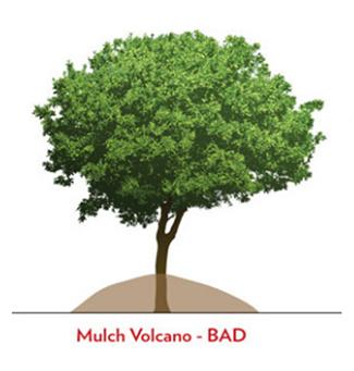 improper tree volcano mulching technique diagram