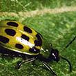 cucumber_beetle 110x110.jpg