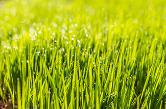 dew on lawn grass