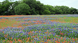 field of wildflowers and bluebonnets
