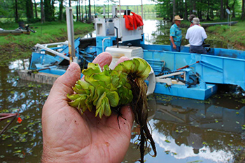 Hand holding harvested aquatic plant